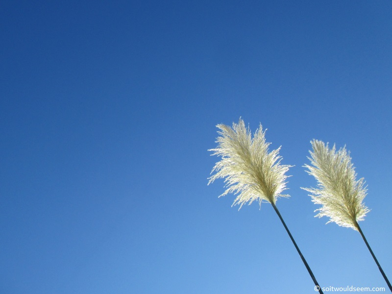 Together - Pampas grass in our back garden