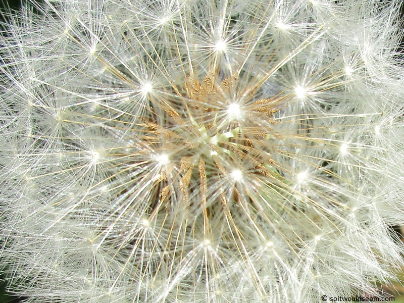"The Clock Is Ticking 5 / Dandelion Fireworks - Close up of a dandelion ""clock"""