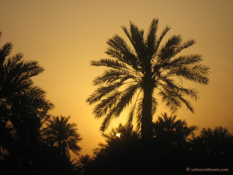 palm tree at sunset in bahrain