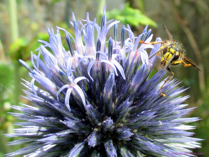 wasp on globe thistle