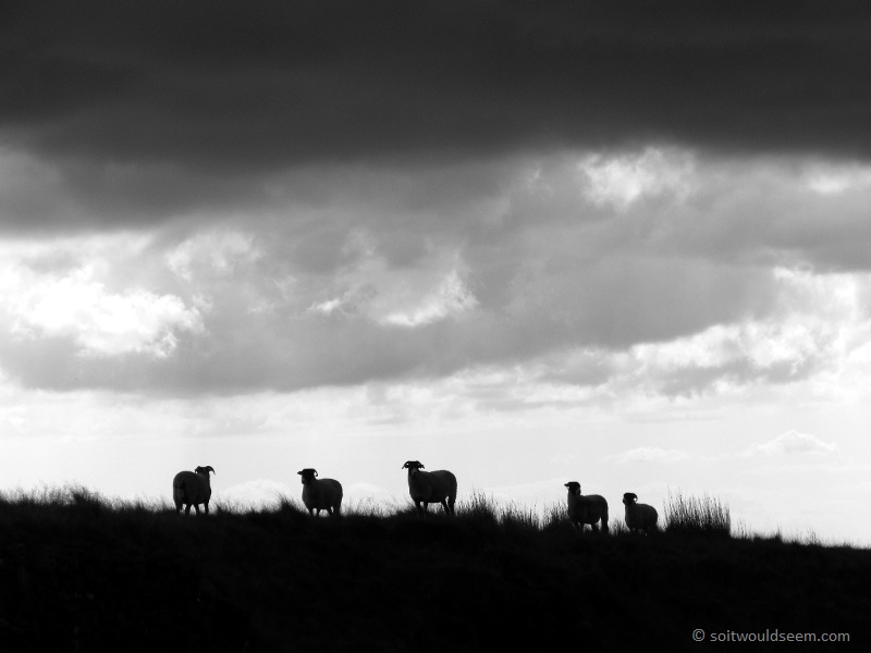 sheep and storm