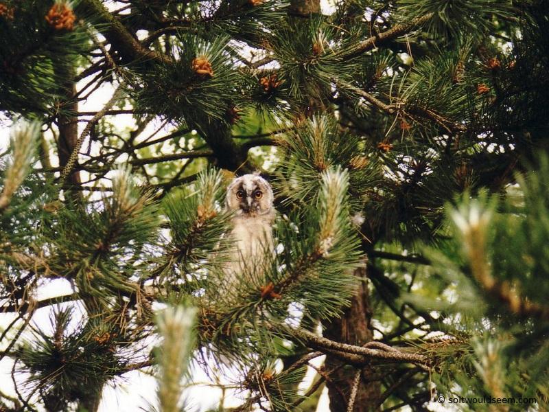 owl pine tree