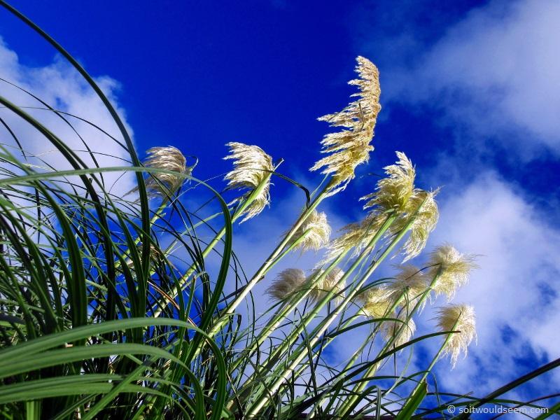 pampas grass blue sky